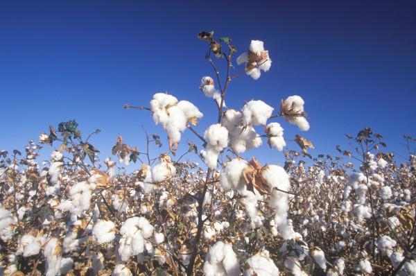 Cotton_REVV-600x398